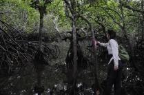 Stefanie mangrove