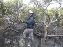 French island mangroves