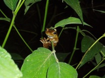 frog brazil